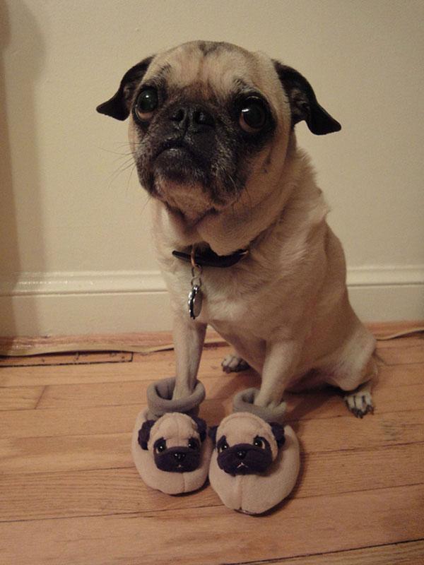 missing you pug