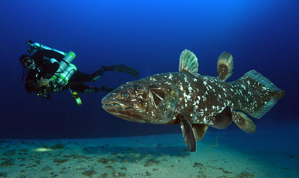 oldest-animals-Coelacanth