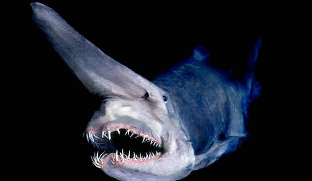 oldest-animals-goblin-shark
