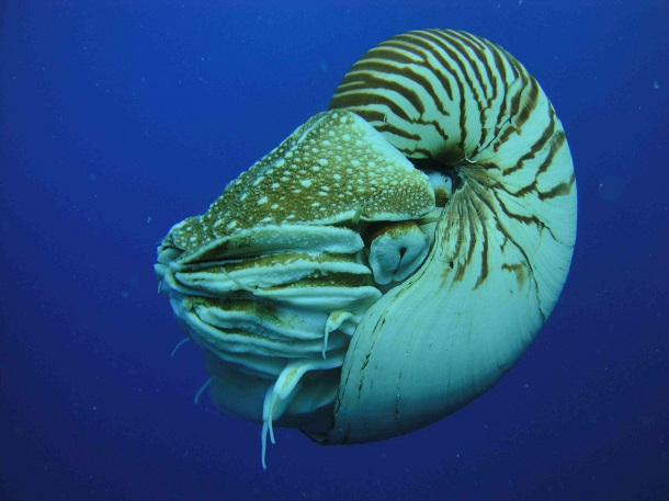 oldest-animals-nautilus