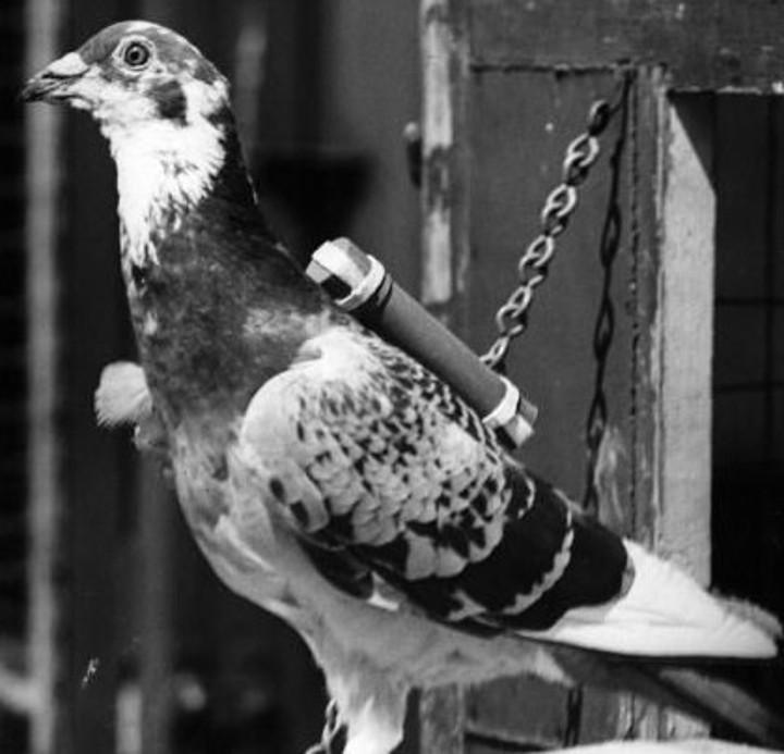 www.pigeonracingpigeon.com
