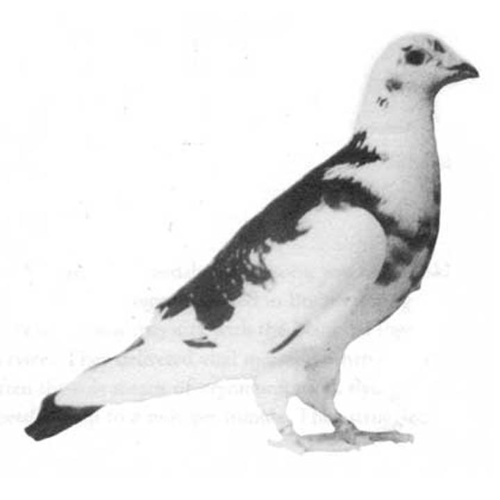 www.pigeonsincombat.com